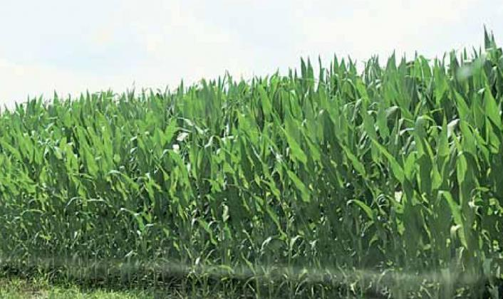 Corn near Lewiston taken Sunday. Ray Kappel/Republican